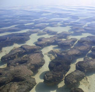Stromatolites in Hamelin Pools, Shark Bay, Western Australia. Stromatolites formed from layers of blue-green algae and are the world's oldest fossils